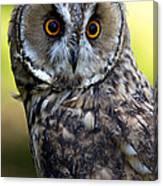 Juvenile Long Eared Owl Canvas Print