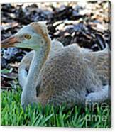 Juvenile Sandhill Crane At Rest Canvas Print