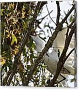 Juvenile Snowy Egret Canvas Print