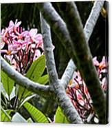 Kalachuchi Flowers Canvas Print