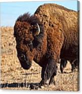 Kansas Buffalo Canvas Print