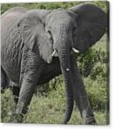 Kenya Masai Mara Charging Elephant  Canvas Print