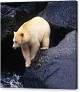 Kermode Bear On Boulder Hunting Salmon Canvas Print