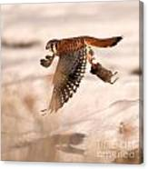 Kestral In Flight Canvas Print
