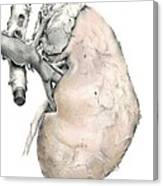 Kidney Anatomy, Artwork Canvas Print