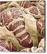Kidney Glomerulus, Sem Canvas Print