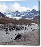 King Penguin Breeding Colony Canvas Print