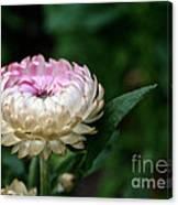 King Rose Strawflower Canvas Print