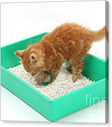Kitten And Litter Tray Canvas Print