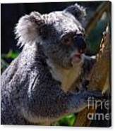 Koala In A Gum Tree Canvas Print