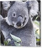 Koala In Tree Canvas Print