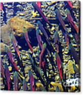 Kokanee Run Canvas Print