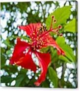 La Cayena-hibiscus Rosa-sinensis Canvas Print