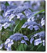Lace Cap Hydrangeas In Bloom Canvas Print