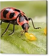 Lady Beetle Eats Potato Beetle Eggs Canvas Print