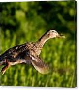 Lady Duck 2 Canvas Print