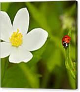 Ladybird Beetle Canvas Print