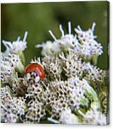 Ladybug Atop The Flowers Canvas Print