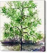 Lake Tahoe Tree Canvas Print