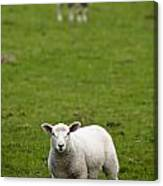 Lambs In A Field Canvas Print