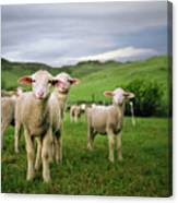 Lambs In Wyoming Canvas Print