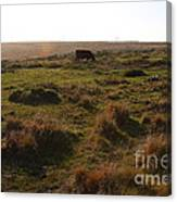 Landscape With Cow Grazing In The Field . 7d9935 Canvas Print