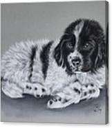 Landseer Pup Canvas Print