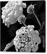 Lantana In Black And White Canvas Print