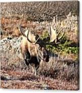 Large Bull Moose Canvas Print