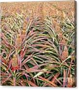 Large Field With Pineapples Canvas Print