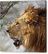 Large Male Lion Profile Portrait Canvas Print