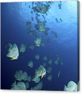Large School Of Batfish, Christmas Canvas Print