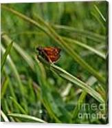 Large Skipper Butterfly Canvas Print