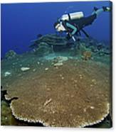 Large Staghorn Coral And Scuba Diver Canvas Print