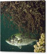 Largemouth Bass Canvas Print