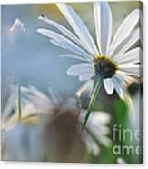 Late Sunshine On Daisies Canvas Print