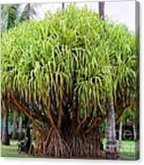 Lauhala Tree Canvas Print