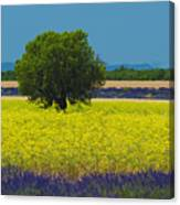 Lavender And Colza In Summer, Provence, France Canvas Print