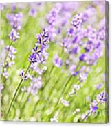 Lavender Blooming In A Garden Canvas Print
