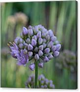 Lavender Flowering Onion Canvas Print