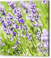 Lavender In Sunshine Canvas Print