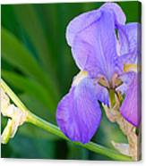 Lavender Iris On Green Canvas Print