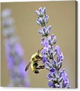 Lavender Visitor Canvas Print