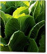 Layers Of Romaine Canvas Print
