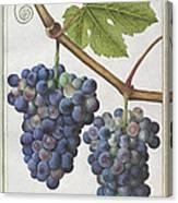 Le Moyne: Grape Vine, C1585 Canvas Print