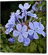 Leadwort Canvas Print