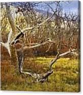 Leaf Barren White Tree Trunk In California No.1500 Canvas Print