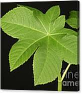 Leaf Of Castor Bean Plant Canvas Print