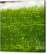 Leaf Stomata, Lm Canvas Print