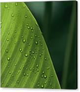 Leaf With Water Drops, Barro Colorado Canvas Print